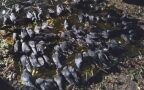 Martwe ptaki na Mokotowie