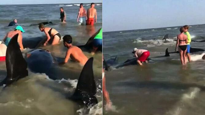 Kilkadziesiąt grindwali utknęło przy plaży. Dramatyczna akcja ratunkowa