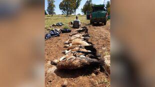 """Osiem sępów płowych padło w wyniku otrucia. """"Śmiertelny cios dla populacji"""""""