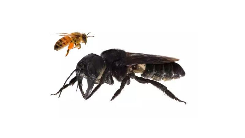 Porównanie wielkości pszczoły miodnej i pszczoły Wallece'a (Megachile pluto)