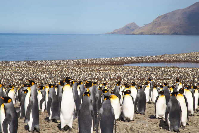 Pingwiny królewskie w rejonie zatoki Saint Andrew's Bay na Georgii Południowej (Shutterstock)