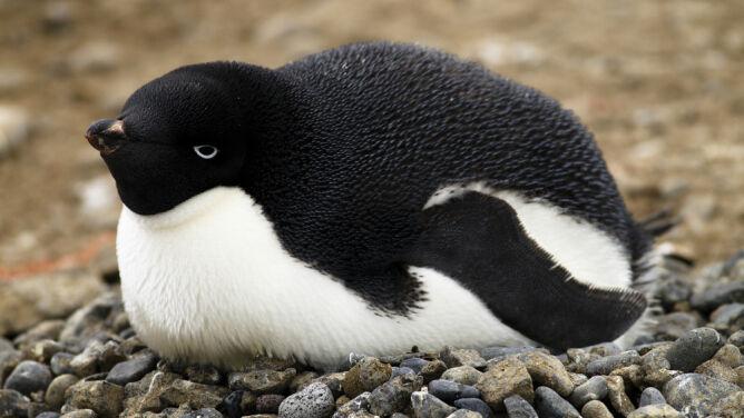 Masowa śmierć pingwiniątek. Przeżyły tylko dwa