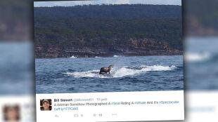 Foka surfowała na wielorybie. Nie zrobiła tego dla rozrywki