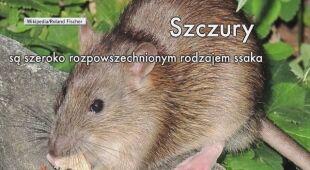 Szczury występują na każdym kontynencie z wyjątkiem Antarktydy